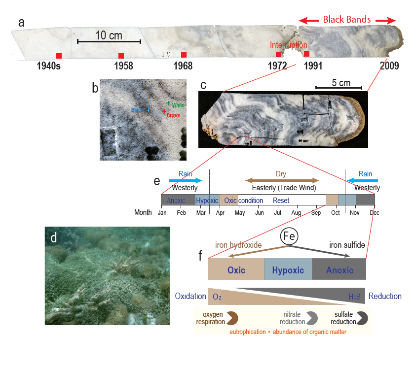 [Science Report] Coral skeletons record history of reef deterioration - Black bands in coral contain iron sulfide and bacteria